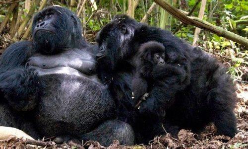 1 day Rwanda special gorilla trekking safari