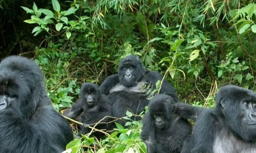 5 Days Rwanda Gorillas and Golden Monkey trekking