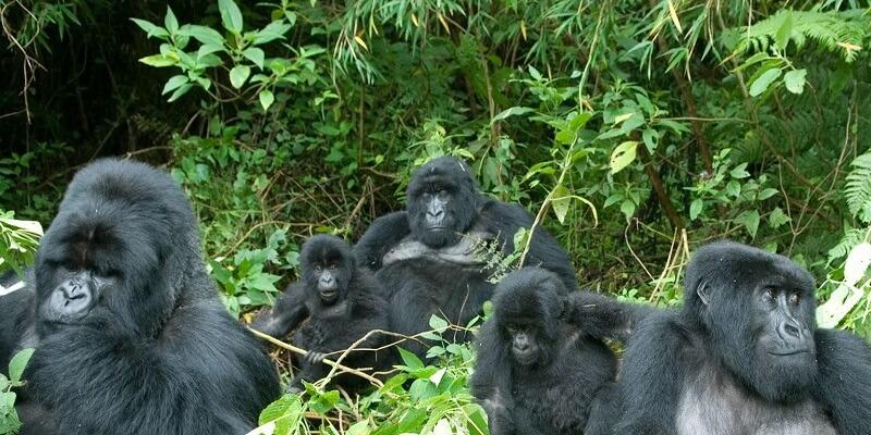 5 Days Rwanda Gorillas and Golden Monkey trekking