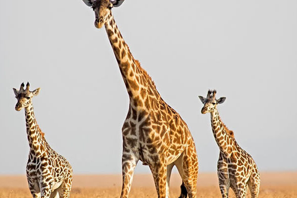 Giraffes-akagera