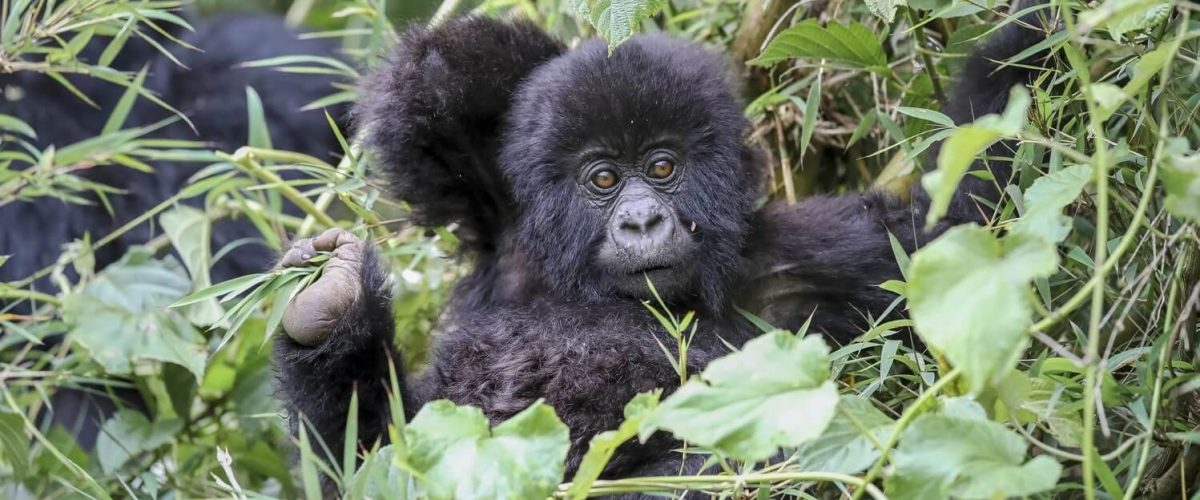 Infant-Gorilla