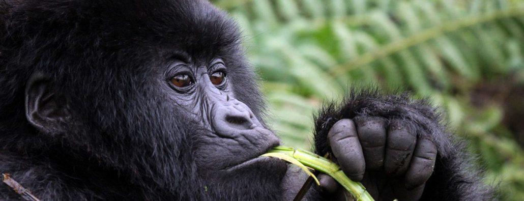 Discounted gorilla permits in Rwanda