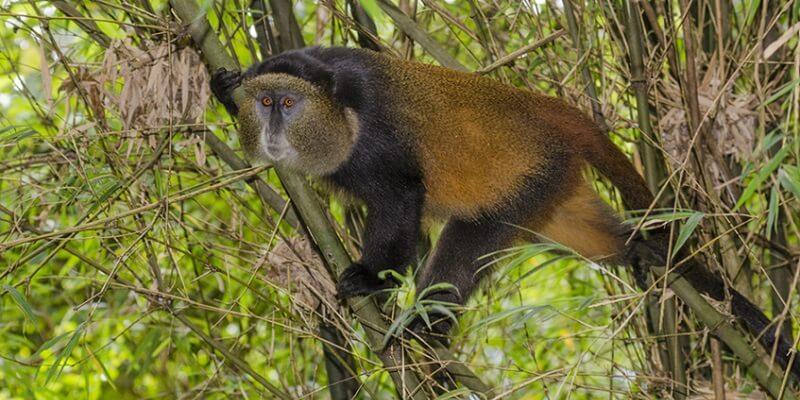 golden-monkey-tracking