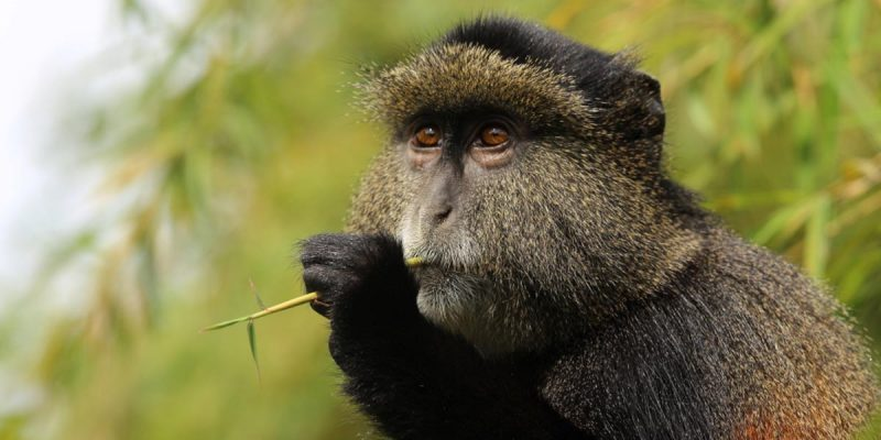 3 Days Rwanda Gorillas & Golden Monkeys Safari