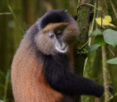 golden monkeys safari