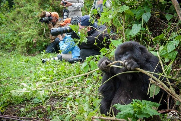 Silverback-Gorilla-Trekking-Rwanda-1083